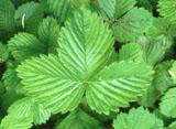 Image of   Jordbær blade 100 gr fra Naturdrogeriet